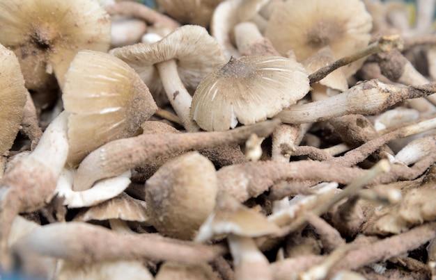 Termitenpilz auf beschaffenheit und hintergrund Premium Fotos