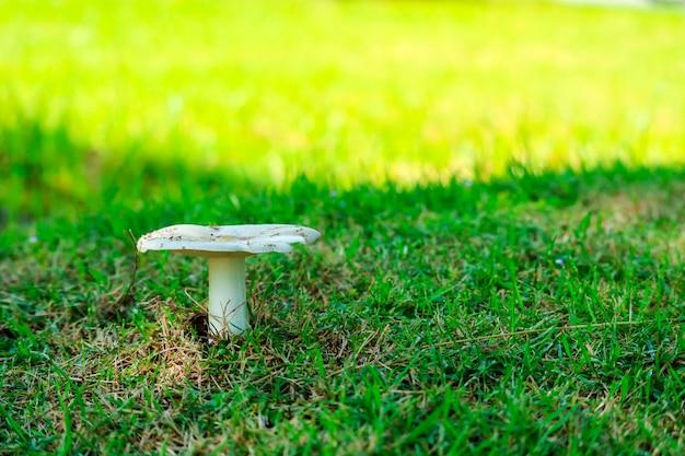 Termitenpilz, der im garten nach regentropfen aufwächst Premium Fotos