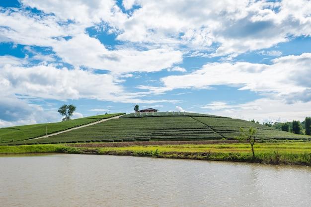 Terrassen-teeplantage chui fong morgens, mae salong mountain, chiang rai, thailand. Premium Fotos