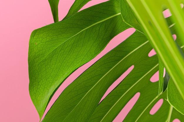 Textur eines monstera-blattes schließen oben auf rosa pastellhintergrund Premium Fotos