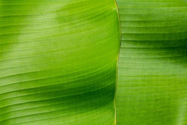 Textur und detail eines grünen bananenblattes im tropenwald. Premium Fotos