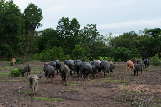 Thai buffalo zu fuß über das feld nach hause gehen Premium Fotos