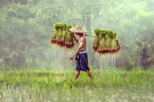 Thailändischer landwirt auf den grünen feldern, die reisbaby, sakonnakhon, thailand halten Premium Fotos