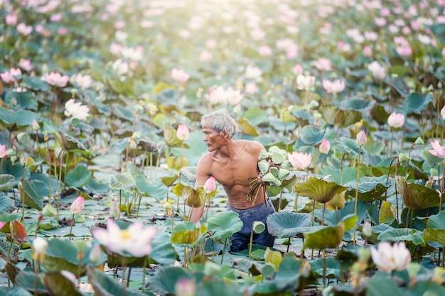 Thailändischer landwirt des alten mannes wachsen lotos in der jahreszeit. Premium Fotos