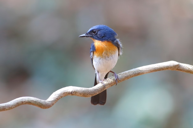 Tickells blauer schnäpper cyornis tickelliae schöne männliche vögel von thailand Premium Fotos