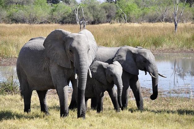 Tiersafari delta afrika elefant okavango Kostenlose Fotos
