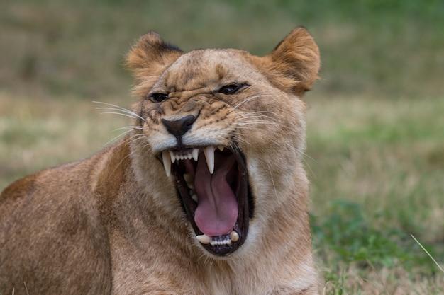 Tiger brüllt in einem dschungel Kostenlose Fotos