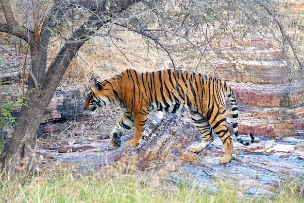Tiger in ranthambore Premium Fotos