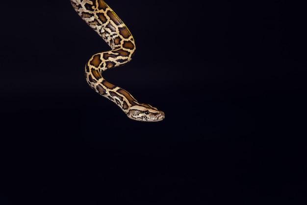 Tiger python, schwarz und gelb, gegen schwarz Premium Fotos