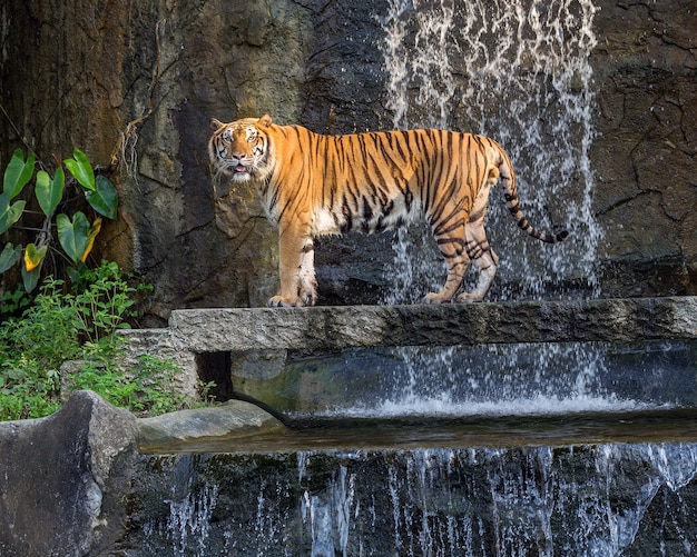 Tiger steht in der natürlichen atmosphäre. Premium Fotos