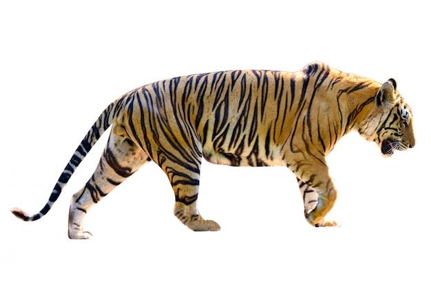 Tiger white-hintergrund isolieren sie vollen körper Premium Fotos
