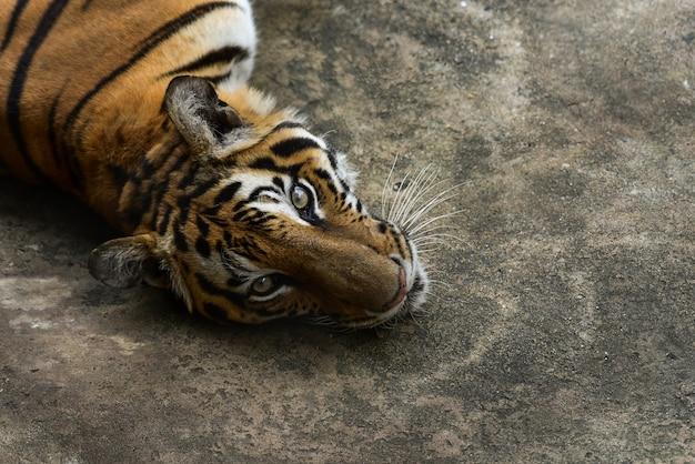 Tiger Premium Fotos