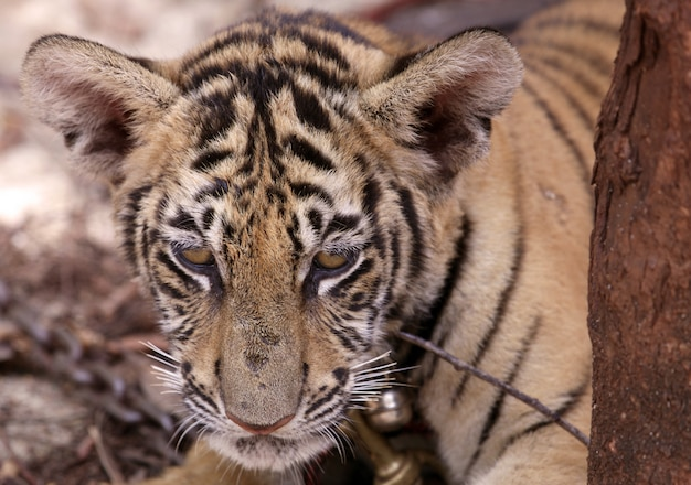 Tigerjunges Kostenlose Fotos