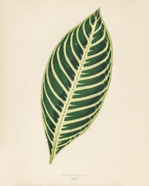 Tigerpflanze (sanchezia nobilis) gestochen von benjamin fawcett (1808-1893) Kostenlose Fotos
