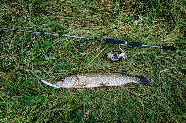 Toller fang, hecht mit spinnerei liegt auf gras. fisch, löffel. barsch an haken. Premium Fotos