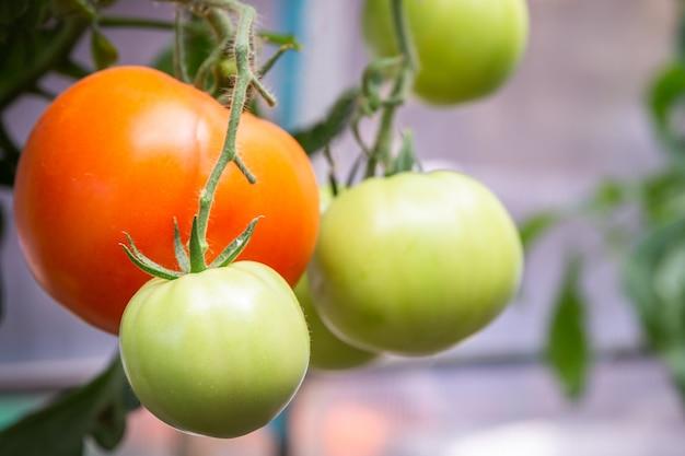 Tomate, die im biohof, reife natürliche tomaten wachsen auf einer niederlassung im gewächshaus wächst Premium Fotos