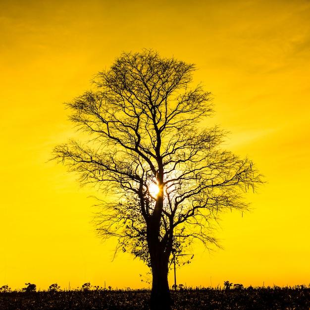 Toter baum des schattenbildes auf sonnenunterganghimmel Premium Fotos