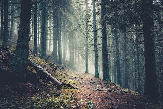 Trail in einem dunklen kiefernwald Premium Fotos