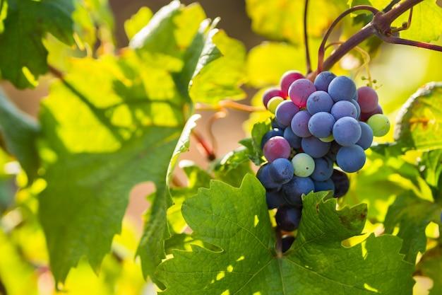 Traube der traube primitivo di manduria, bio-weinberg im salento, natürliche bedingungen, apulien, italien Premium Fotos