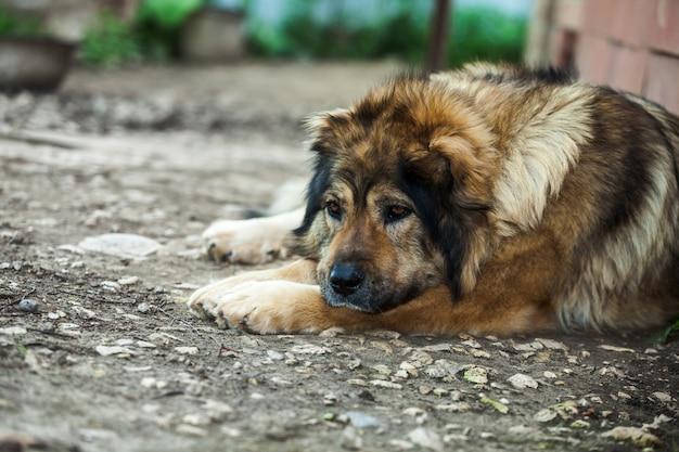 Trauriger kaukasischer schäferhund, der aus den grund nahe dem haus liegt Premium Fotos