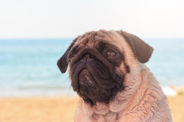 Trauriger pughund sitzt auf dem strand und betrachtet das meer. Premium Fotos