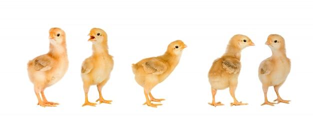 Treffen von gelben hühnern zu ostern Premium Fotos