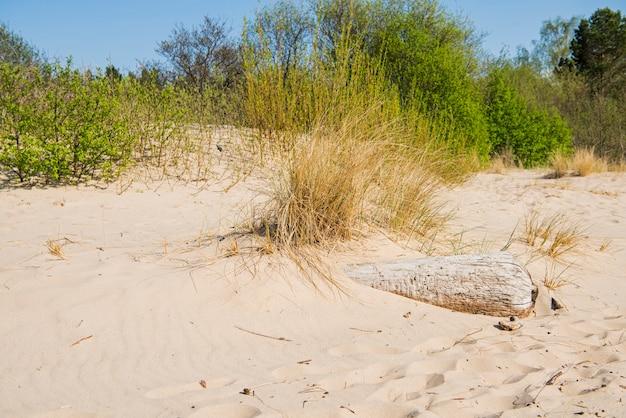 Treibholzstamm an der seeküste. sonniger sommertag. lettland. fluss namens gauja Premium Fotos
