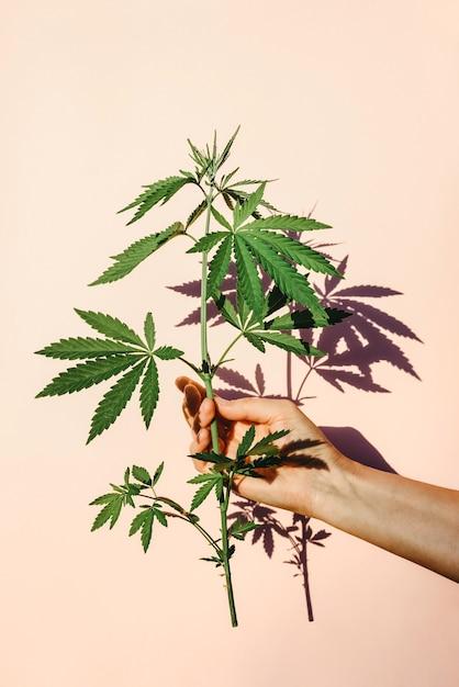 Trendige sonnenlichthand mit busch von marihuana, hanf auf dem hintergrund der rosa wand Premium Fotos