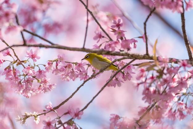 Trinkender nektar des vogels auf sakura-blume Premium Fotos