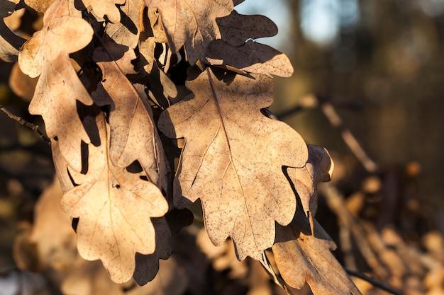 Trockene eichenblätter auf zweigen in der herbstsaison. nahaufnahmefoto Premium Fotos