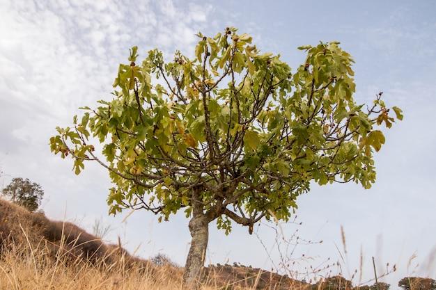 Trockene landschaft mit einem feigenbaum Premium Fotos