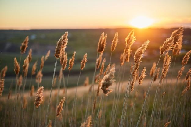 Trockene pflanzen ducken sich auf dem gebiet im wind während des sonnenuntergangs. Premium Fotos