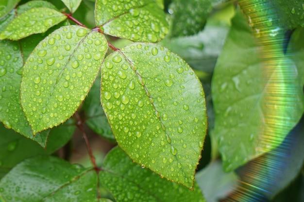Tropfen auf den grünen pflanzenblättern in der natur im sommer Premium Fotos