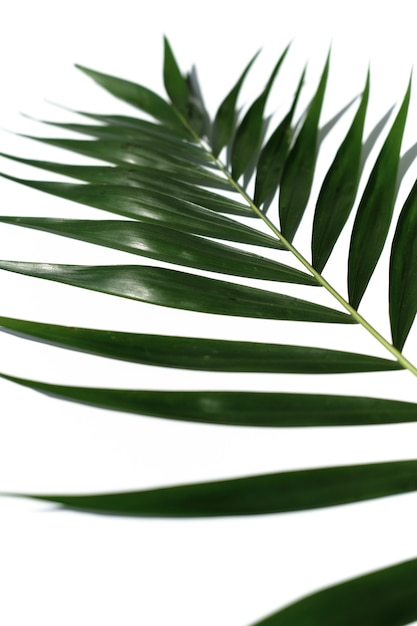 Tropisches palmeblatt auf einem weißen hintergrund Premium Fotos