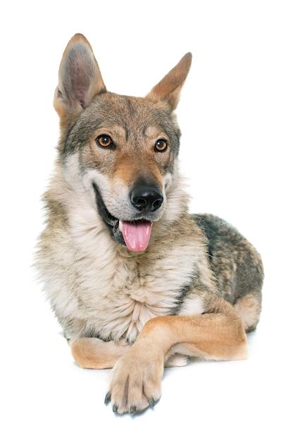 Tschechoslowakischer wolfshund Premium Fotos