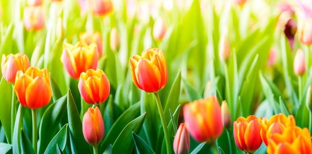 Tulpen blühen im garten. Premium Fotos