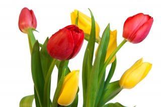 tulpen gelb gr n download der kostenlosen fotos. Black Bedroom Furniture Sets. Home Design Ideas
