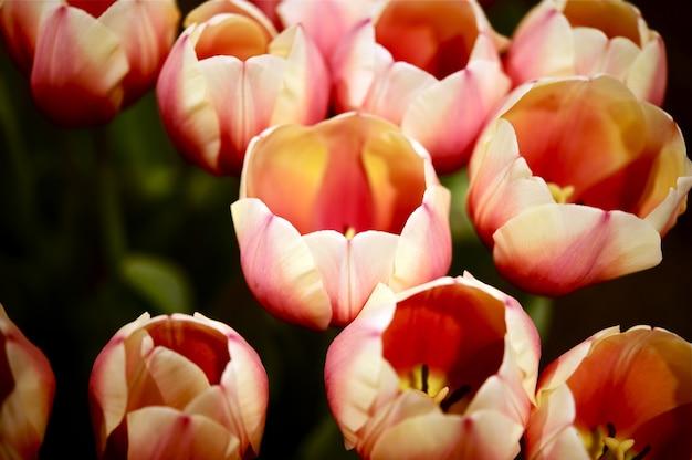 Tulpen russische prinzessin Kostenlose Fotos