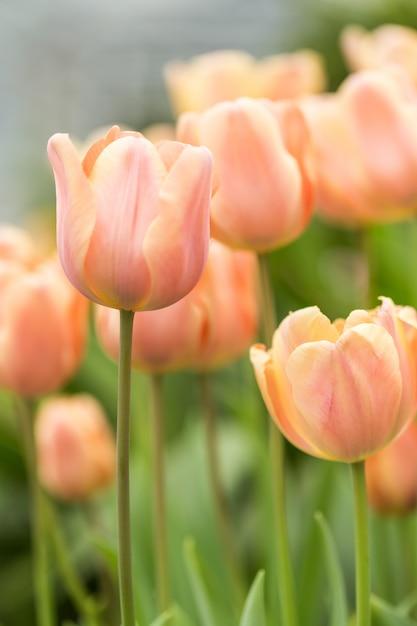 Tulpen Premium Fotos