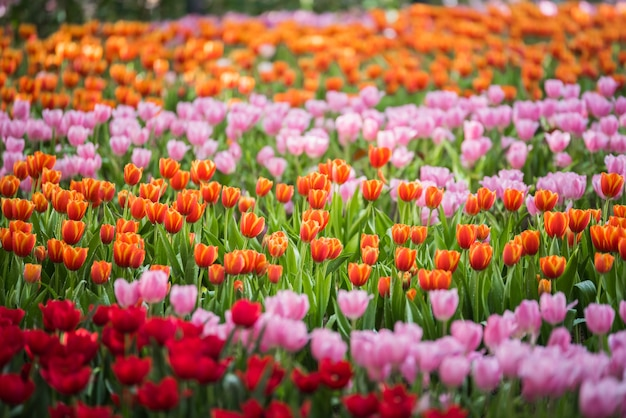 Tulpenblumen im garten Premium Fotos