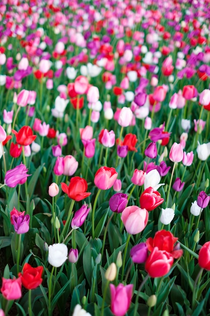 Tulpenfeld in japan Kostenlose Fotos