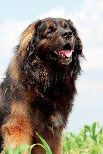 Typischer leonberger hund Premium Fotos