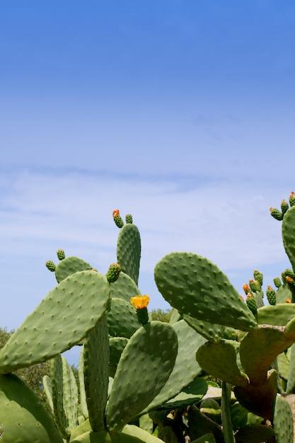 Typisches mittelmeer der chumberanopalkaktuspflanze Premium Fotos