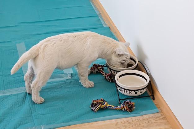 Über ansicht des netten welpen des weißen terriers des westhochlands isst von den schüsseln Premium Fotos