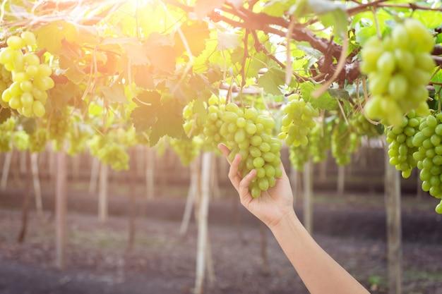 Übergeben sie das halten des bündels frischer grüner trauben, die an einem busch hängen Premium Fotos