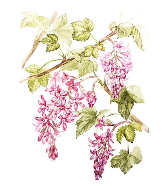 Übergeben sie gezogene botanische illustration des aquarells von blumen der schwarzen johannisbeere. Premium Fotos