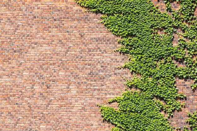 Überwucherte backsteinmauer und blatt-efeu für hintergründe. Premium Fotos