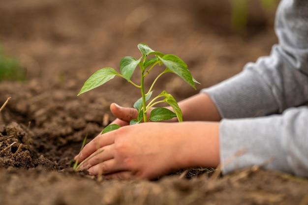 Umgebung. tag der erde. pfeffersämlinge in den boden pflanzen. Premium Fotos