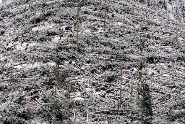 Umgestürzte bäume im nadelwald nach starkem hurrikanwind in rumänien. Premium Fotos