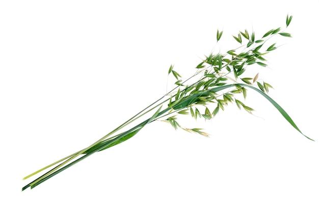 Unausgereifte grüne haferohren (avena sativum), lokalisiert auf weißem hintergrund Premium Fotos